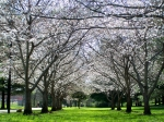 Bradford Pear Trees may not smell fabulous, but they are a beautiful way to usher in springtime.