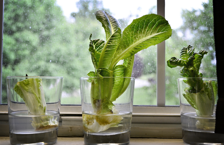 Growing lettuce