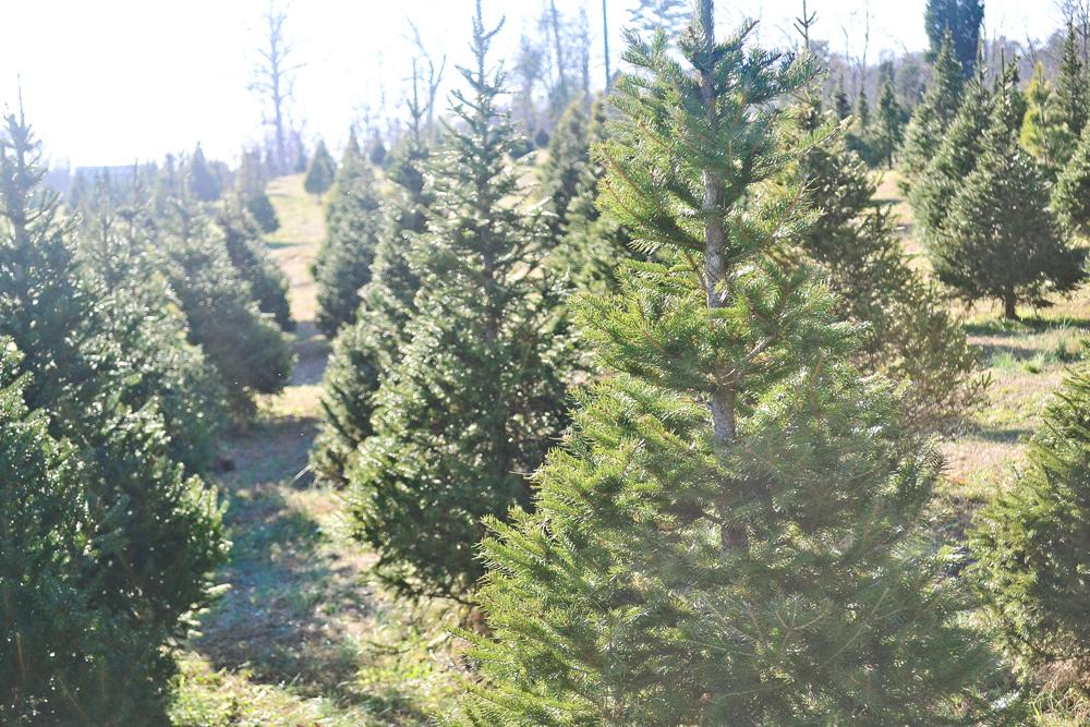 Christmas tree farm in TN